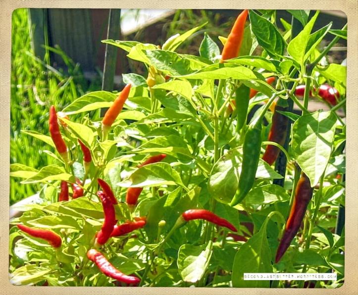 African bird-eye chilli (ripe)