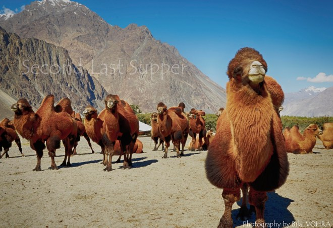 The critically endangered Backtrain camel from Mongolia.