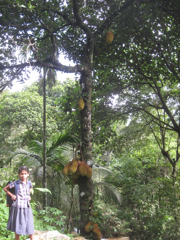 Jackfruit, the indigenous Indian product
