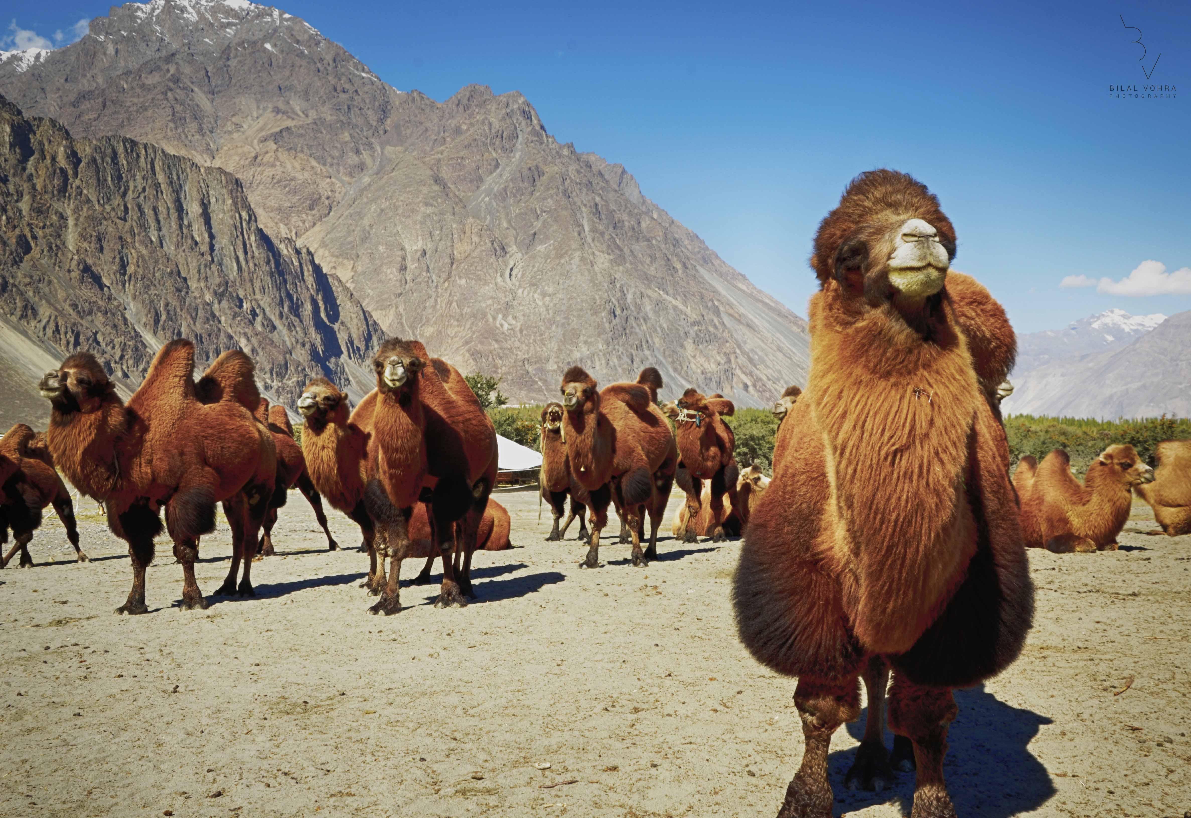 Backtrain camels
