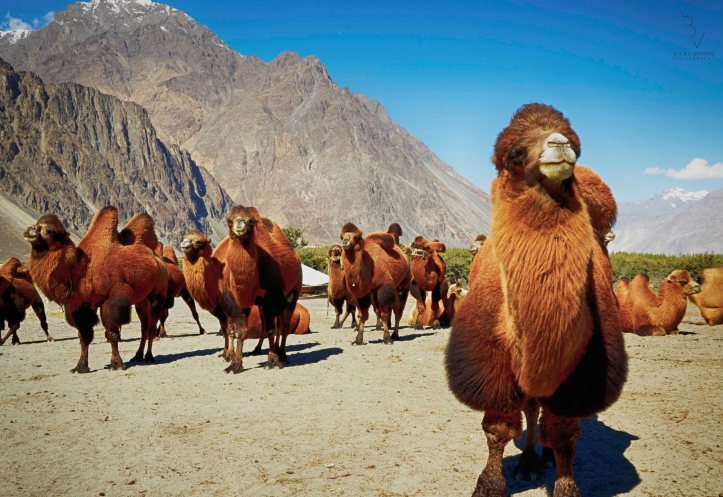 Backtrain camels